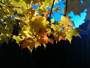 stained glass maple 3